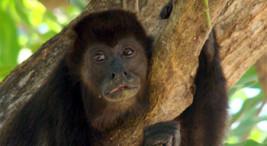 Monos en riesgo por sequia