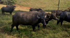 Investigacion confirma buena calidad y productividad de la carne de bufalo