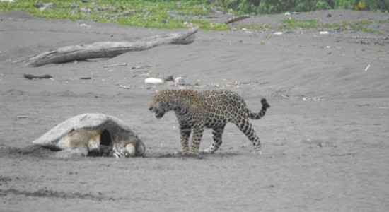 Organizaciones ecologistas apoyan proteccion del Jaguar en Tortuguero