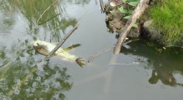 Upala Muerte de peces