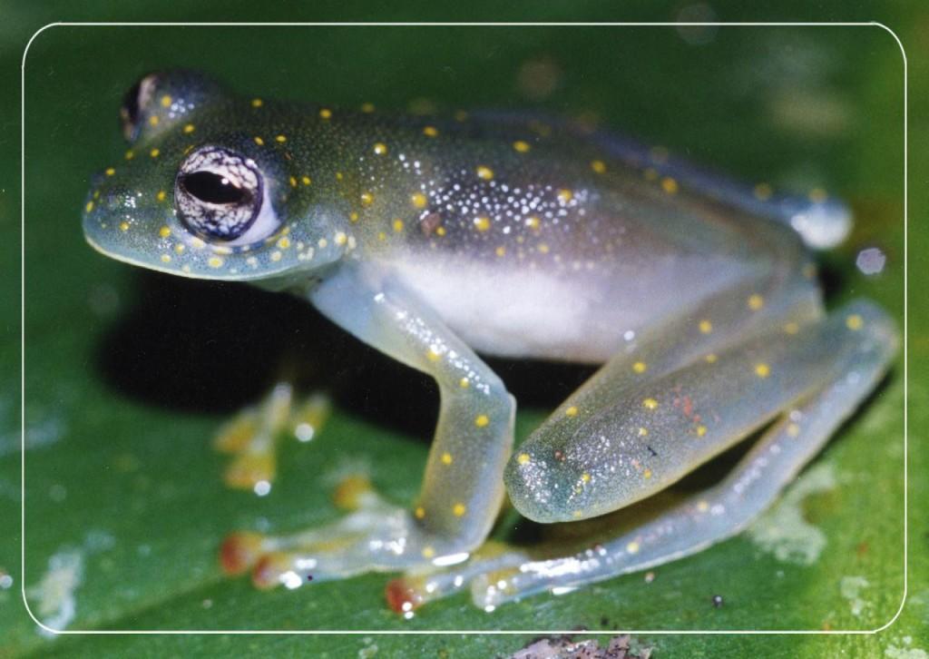 Tomada del documento Familia de Anfibios de Costa Rica del Proyecto Ixchel