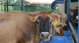 La leche producida en el Módulo se comercializa por medio de la Cooperativa de Productores de Leche Dos Pinos y sus ganancias se reinvierten en el proyecto para la compra de insumos agrícolas y veterinarios.