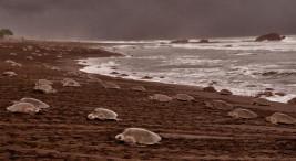 UCR La proteccion de tortugas marinas debe extenderse al mar